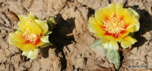 Opuntia flowers in our backyard