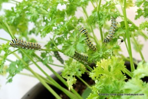 Black Swallowtail Caterpillars, Parsley