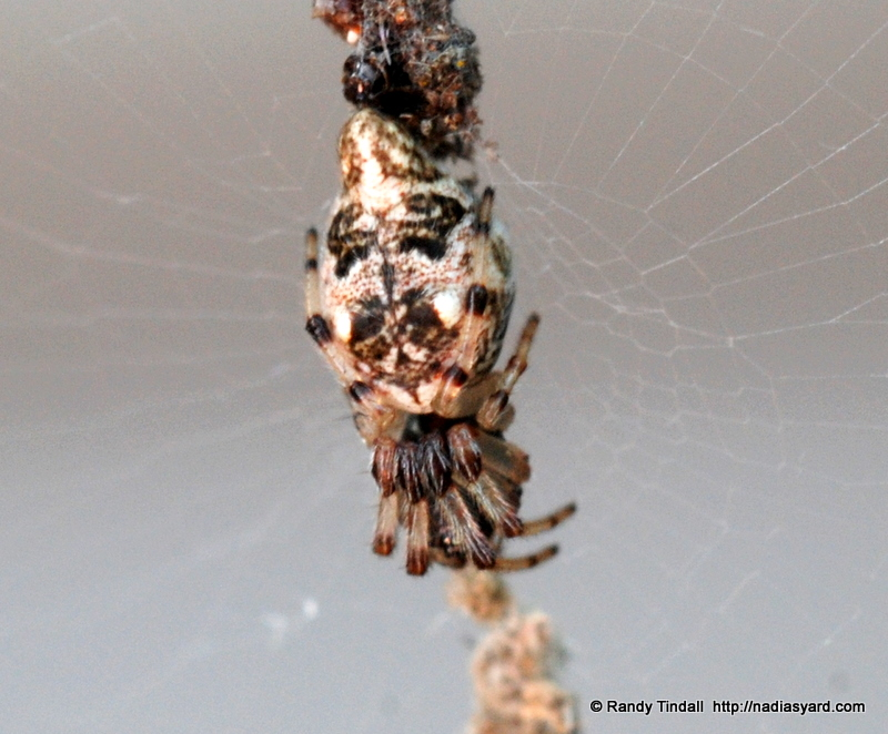 Trashline Orb-weaver (Cyclosa turbinata)