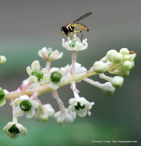 Pollinator fly on Pokeweed flower