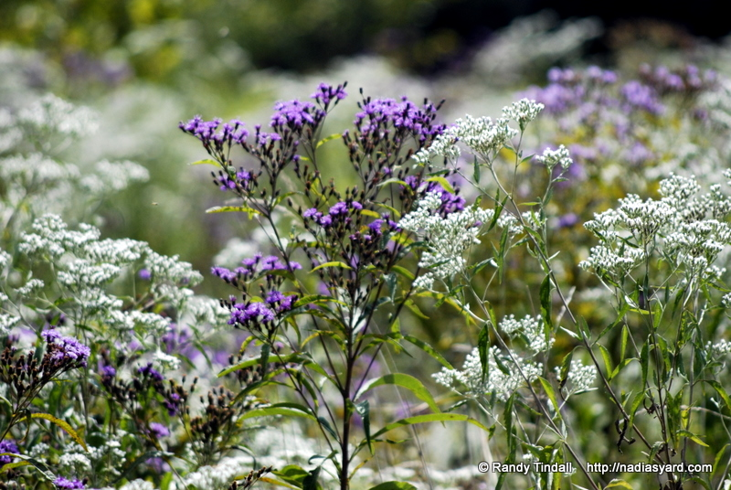 Late Boneset and Ironweed