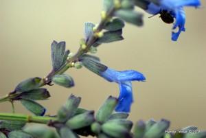 Blue Sage Flowers