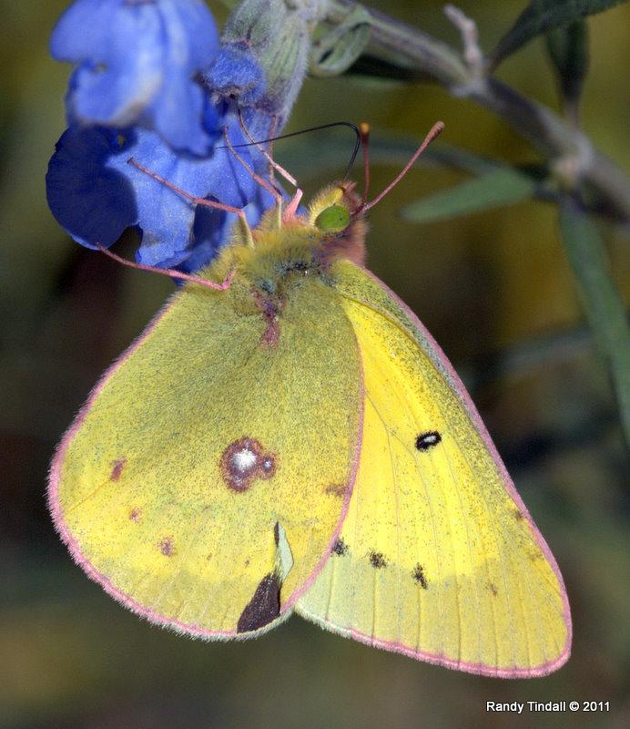 Orange Sulphur Butterfly on Blue Sage