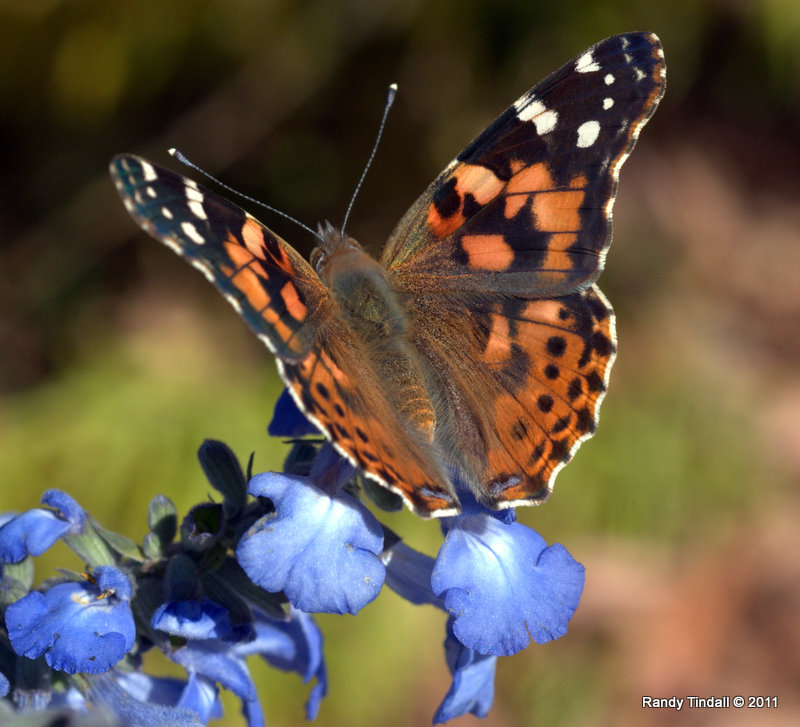 Painted Lady (Vanessa cadui)