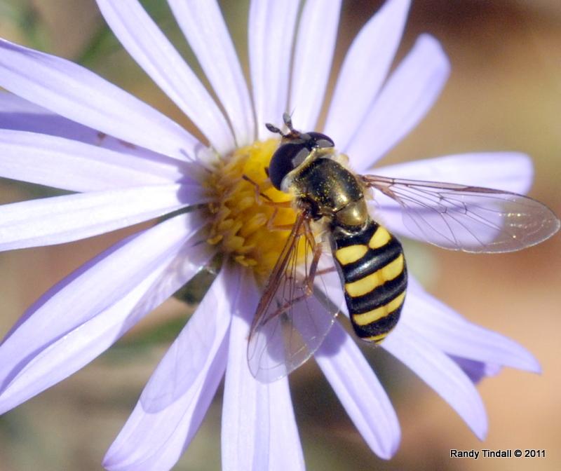 American Hover Fly (Eujpeodes americanus)