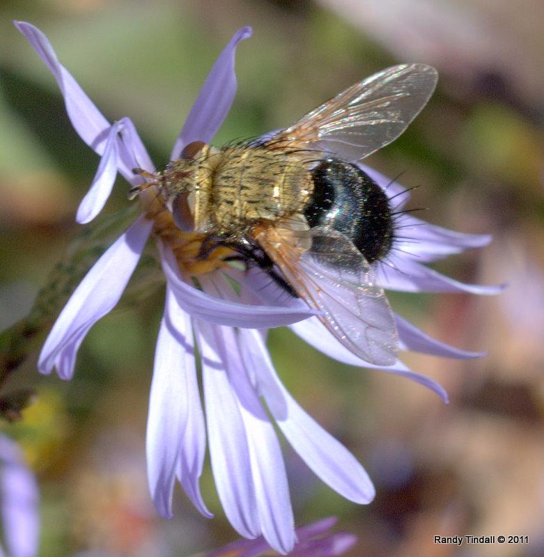 Tachinid Fly (Archytas sp.----apicifer?)