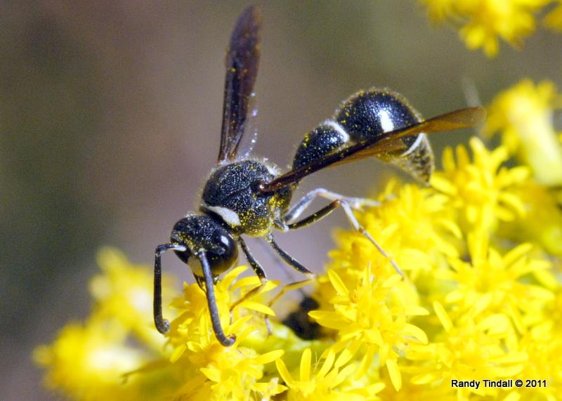 Potter Wasp (Eumenes fraternus) on Goldenrod