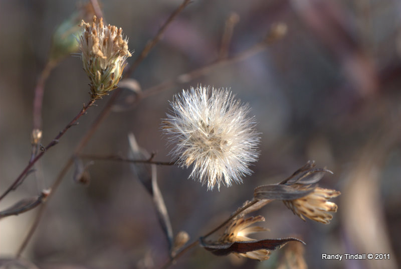 Seed Heads of Sky Blue Aster