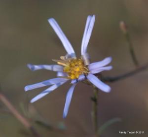 Sky Blue Aster (Symphyotrichum oolentangiense (Riddell))