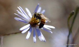 Honey Bee on Sky Blue Aster