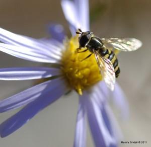 American Hover Fly (Eupeodes americanus) on Sky Blue Aster (Symphyotrichum oolentangiense (Riddell))