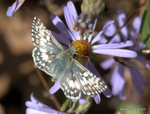 Checkered Skipper (Pyrgus communis) on Aster