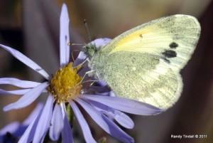 Dainty Sulphur (Nathalis ioles) on Aster