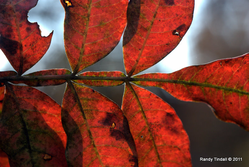 Winged Sumac leaf color