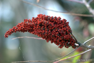 Sumac Fruits