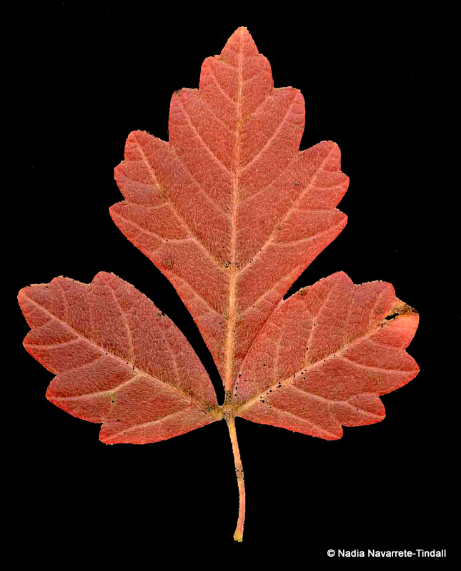 Aromatic Sumac (Rhus aromatica) Leaf