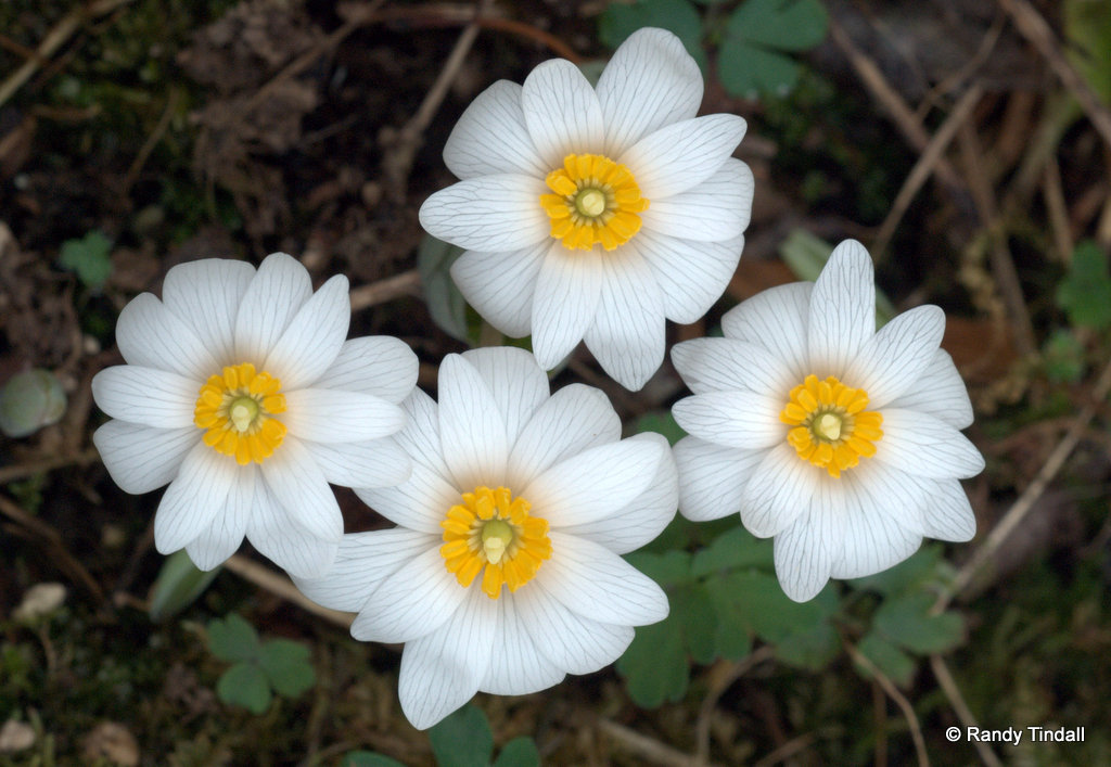 Bloodroot Blossoms (Sanguinaria canadensis)