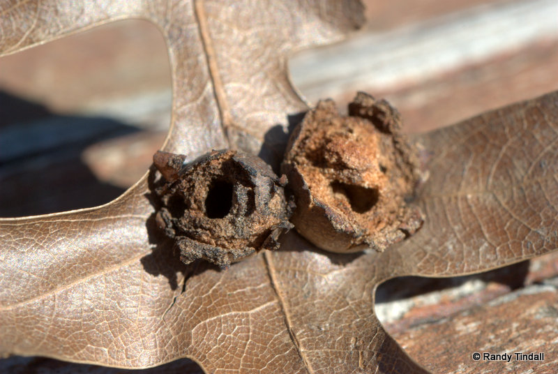 Cynipid Wasp Oak Leaf Gall