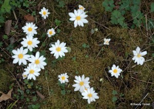 Our Bloodroot Patch
