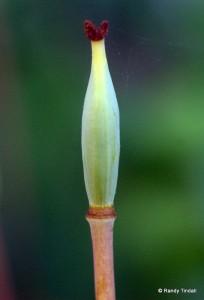Immature Seed Capsule