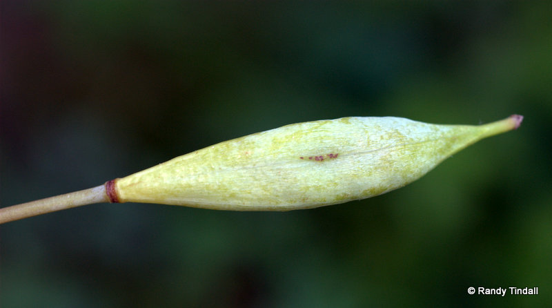 Bloodroot seed pod ready to pop.