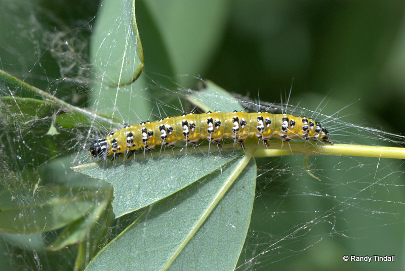 Uresiphita reversalis (Genista Broom Moth Caterpillar) on Blue Wild Indigo