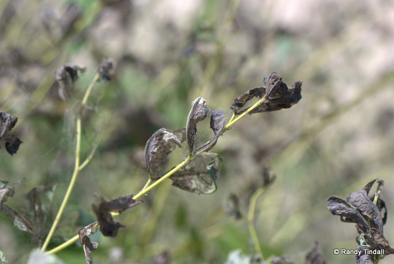 Damage to Blue Wild Indigo Leaves