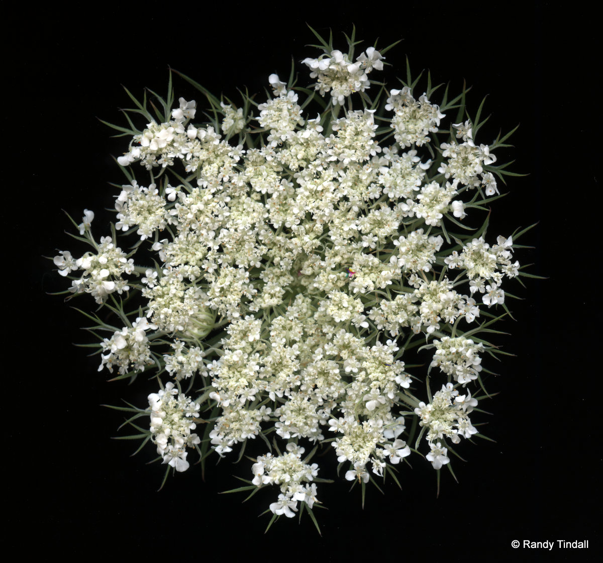 Queen Anne's Lace, Wild Carrot (Dauca carota)