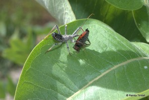 Assassin Bug munching Milkweed Bug (Oncopeltus fasciatus)