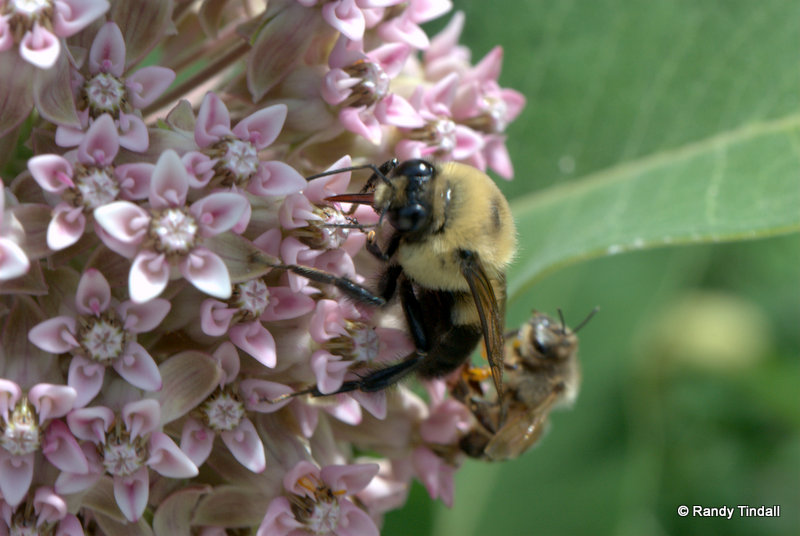Bumblebee on Common Milkweed Flower