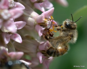 Bee on Common Milkweed