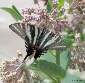 Zebra Swallowtail (Protographium marcellus) on milkweed