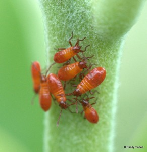 Milkweed Bug nymphs