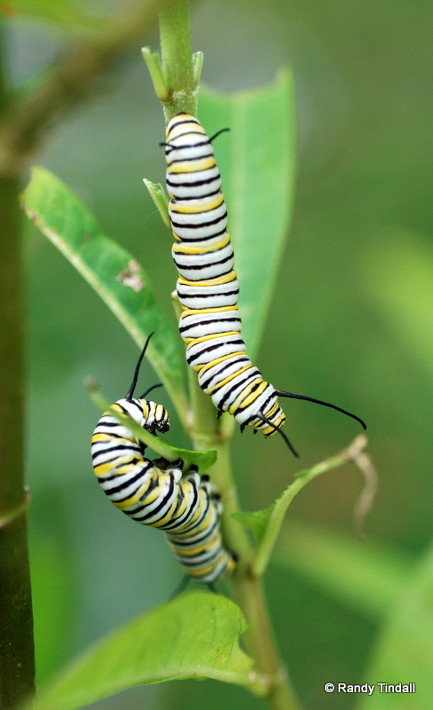 Monarch Butterfly caterpillars (Danaus plexippus)