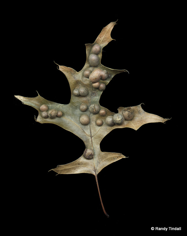 Oak Leaf Galls