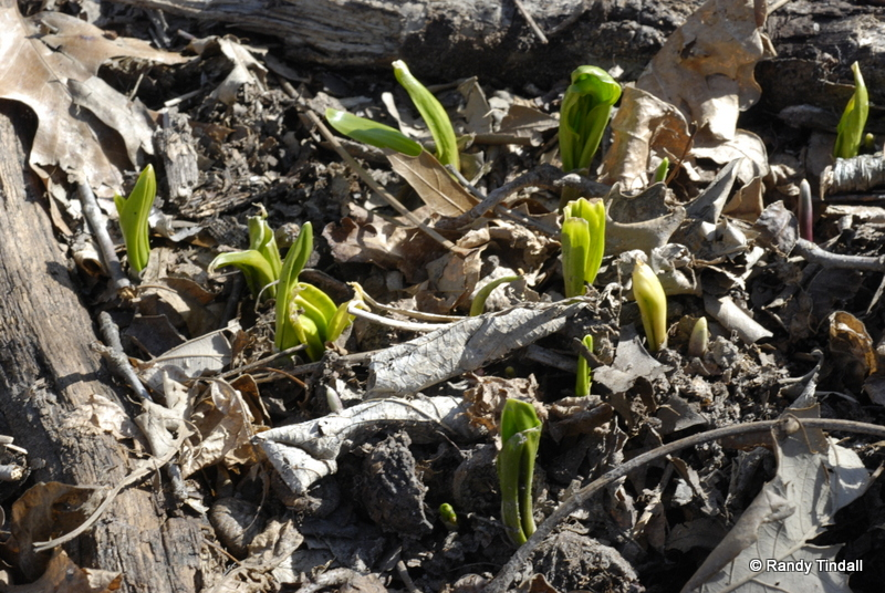 Wild Leeks (Allium tricoccum)