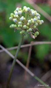 Seedhead on Wild Leek