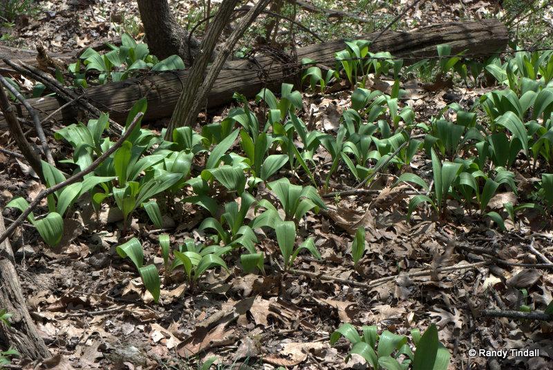 Wild Leeks in Spring (Allium tricoccum)
