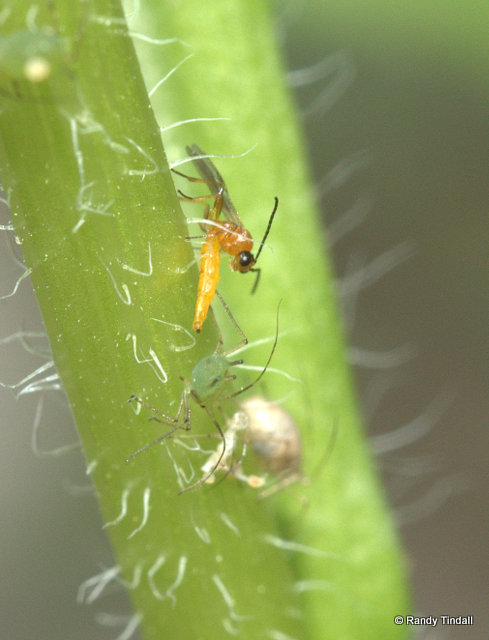 Parasitic wasp aphid