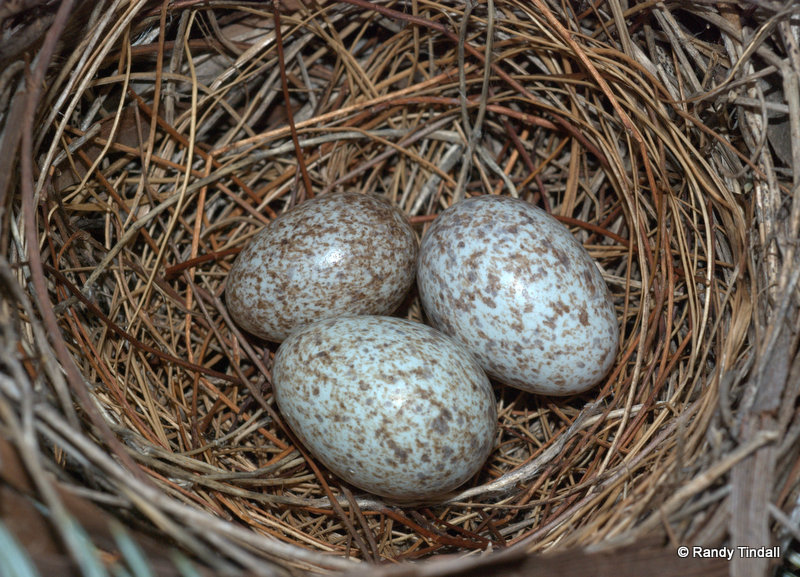 Cardinalis cardinalis (Northern cardinal)  eggs with Molothrus ater(Brown-headed Cowbird) egg.