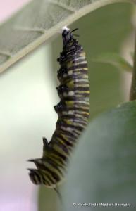 Danaus plexippus