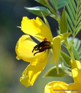 Partridge Pea (Chamaecrista fasciculata