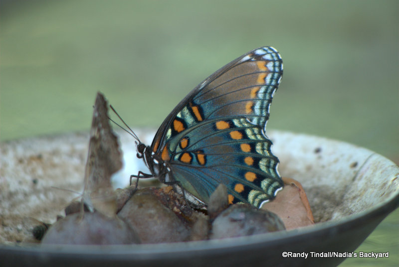 Red-Spotted Purple Butterfly feeding on persimmons