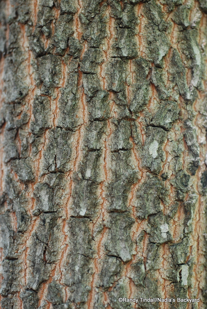 Bark of Persimmon Tree