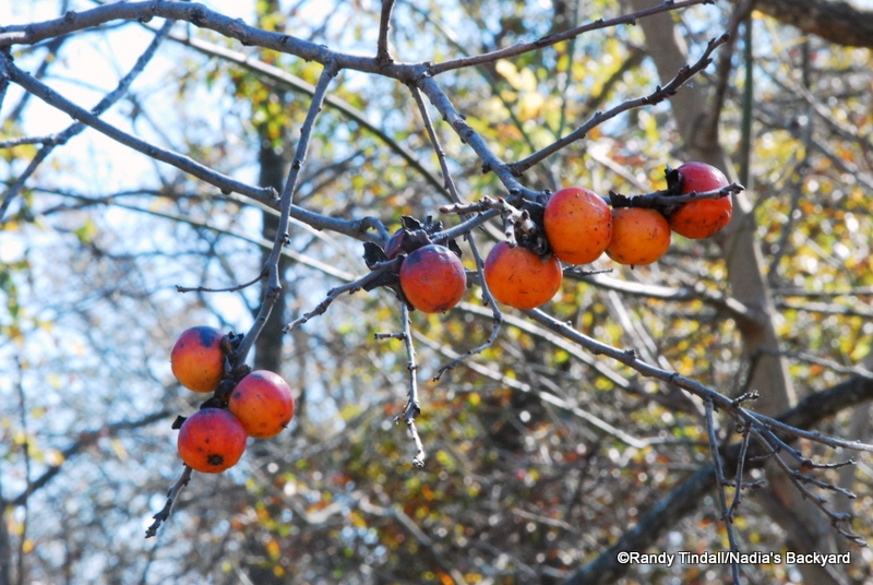 Ripe Persimmons.  These look pretty safe...