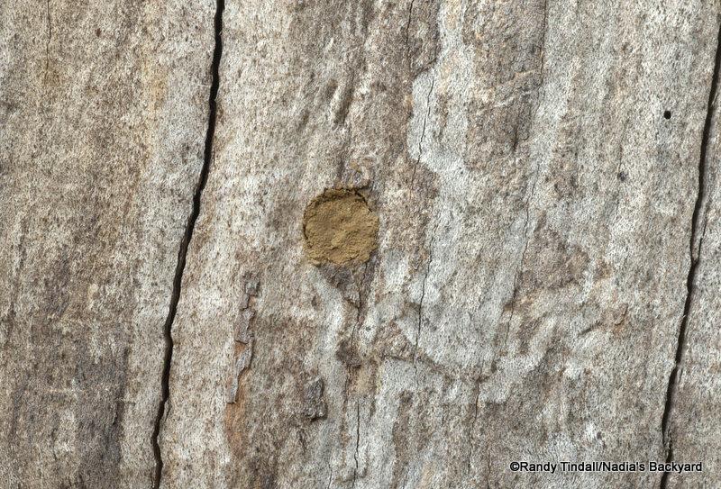 Megachile sculpturalis nest