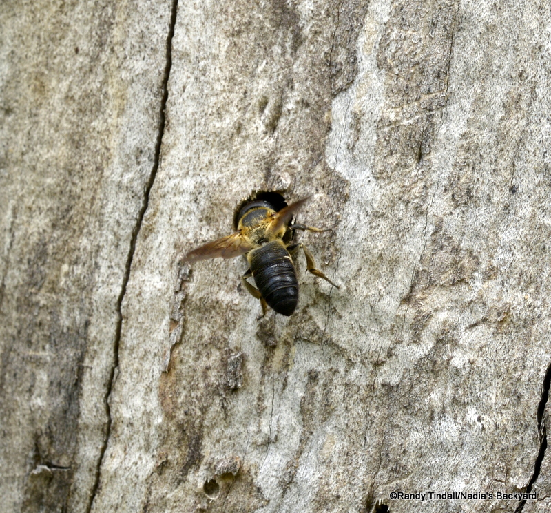 Megachile mendica at nest.