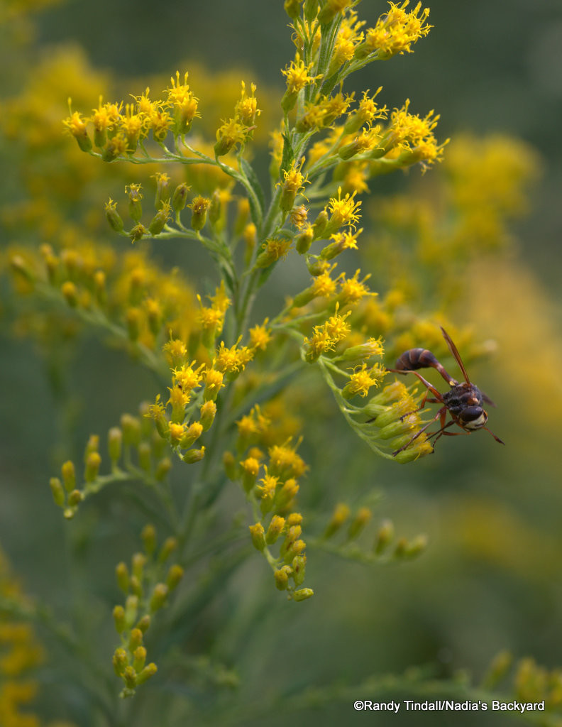 Solidago sp. with Physocephala sp.