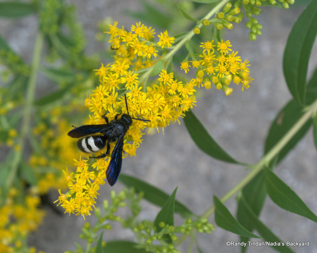 Solidago speciosa, Scolia bicincta (showy goldenrod with double-banded scolid wasp)