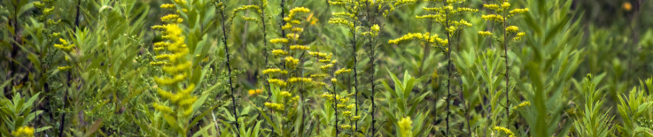 Old-field goldenrod (Solidago nemoralis)